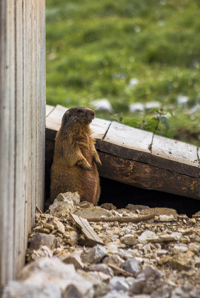 Marmotte..marmotte everywhere!!!